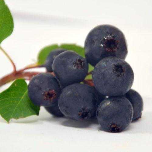 Fruit d'un plant d'amélanchier prêt à être mangé. Variété non-identifié.