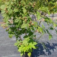 Plant de framboisier rouge vendue sur Terra-Boreal