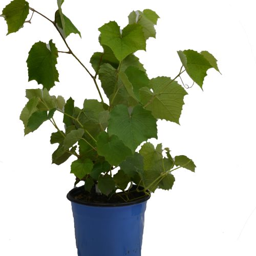 Plant de vigne en format 1 gallon vendu sur Terra-Boreal