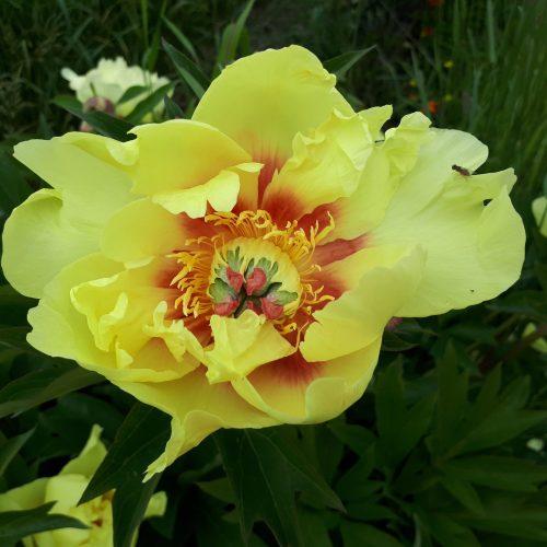 Fleur de pivoine Pauline (ITOH) de couleur jaune soleil dont le coeur est strié de rouge feu.