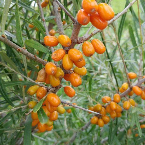 Argousier orange energie