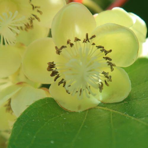 Fleur de plant de kiwi famille arguta, meader, michigan state, issai