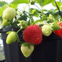 Jardinière de fraise suspendu