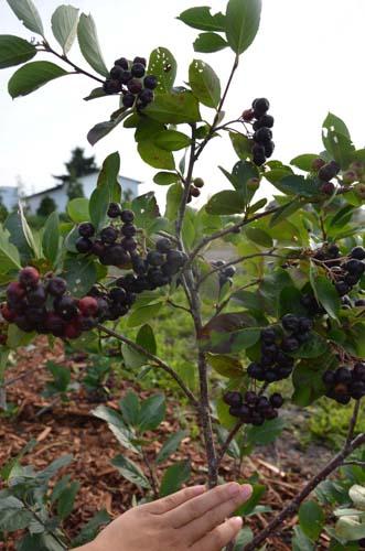 aronia en fruit