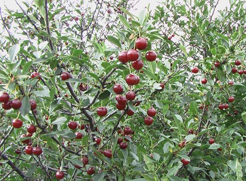 cerise rouge juliet