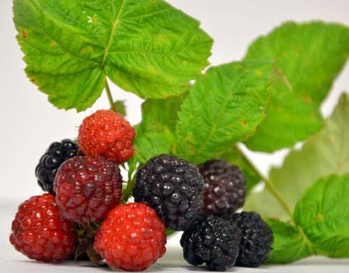 framboisier jewel en fruit