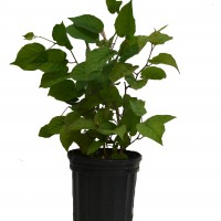 Plant de kiwi September sun en format 1 gallon.