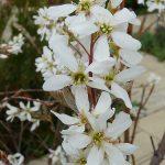aronie elliott en fleur