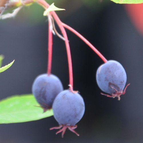 Amélanche en fruit