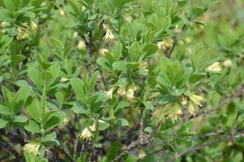 Fleur de camerisier Boréalis