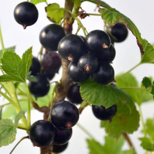 cassissier titania en fruit