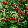 cerisier roméo